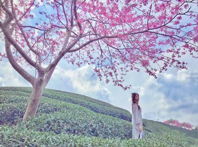 赏浪漫樱花季